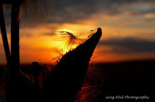 milkweed-sunset-M-001